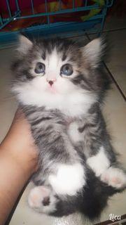 قط شيرازي  صغير