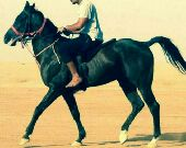 حصان ممكس للبيع ماشاء الله