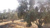 مزرعة اشجار مثمرة بمصر