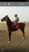 حصان سباقات من العيار الثقيل