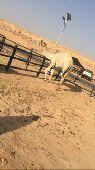 قعود جذع سوق الابل الجديد ( الطوقي )