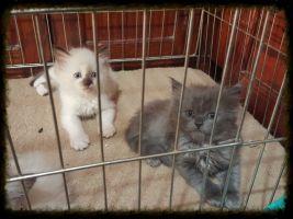 كتين قطط صغيره روعه