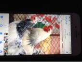 حقل - دجاج كلنبي