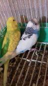 (تم البيع) بادجي (طيور الحب) بفروخه