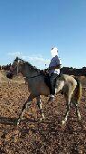 حصان هادي للبيع