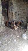 دجاج بلدي في النماص