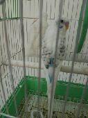 زوج طيور الحب بادجي للبيع