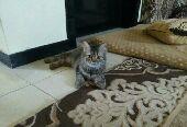قطط اميركي شيرازي