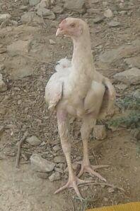 دجاج باكستاني أبيض صك للبيع العاجل